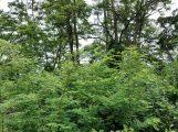 Das Kreisforstamt informiert: Die Robinie – der Baum des Jahres 2020