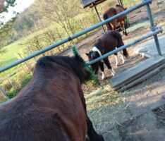 Wenn aus Pferdeträumen ein Albtraum wird – Giftköder werden vermehrt ausgelegt …