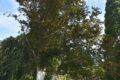 Schäden durch Sonnenbrand und Pilzbefall –Blutbuche in der alla hopp!-Anlage muss gefällt werden